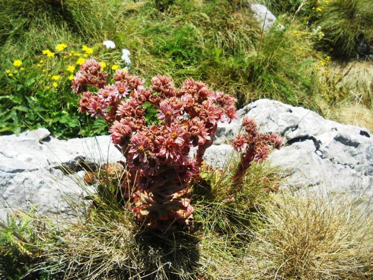 Poljsko cvijeće na Durmitoru