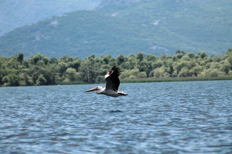 Pelikan, Skadarsko jezero