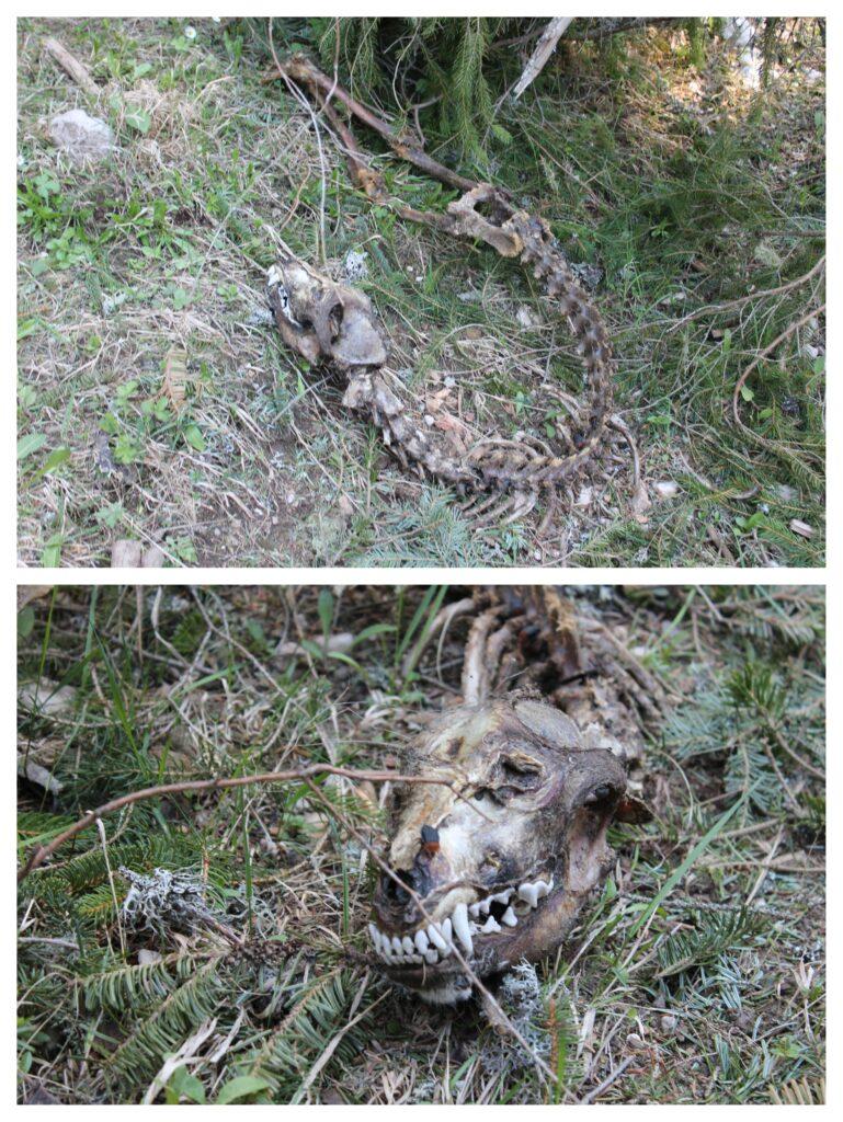 Kosti nepoznate životinje