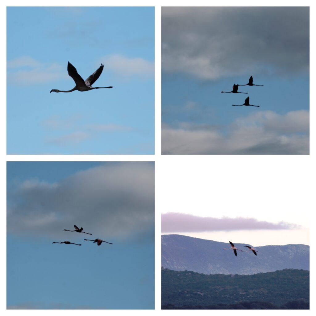 Flamingosi u letu